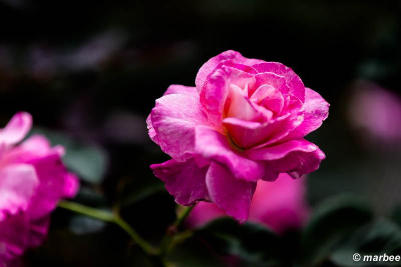 薔薇 アブラカダブラ