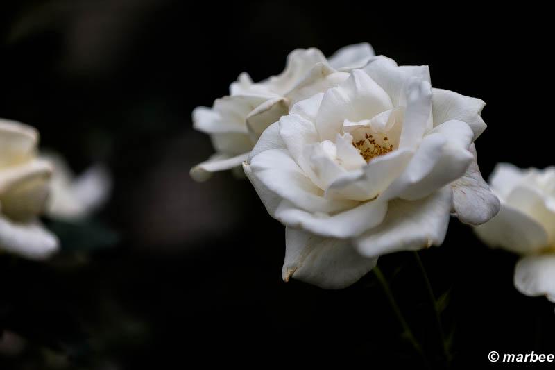 薔薇 ホワイトクリスマス