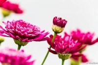 ワインレッド色の花