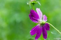 コスモス 紫色も咲いているよ