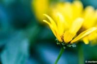 黄色い花 黄色にトロける