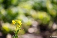 菜の花 未だ咲き始め 春はもうすぐ