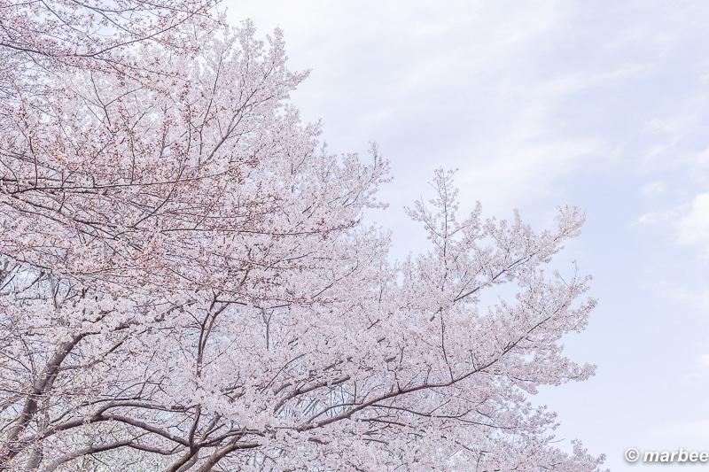 咲き誇る染井吉野