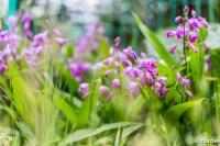 紫蘭 この花なんて言うの?知らん