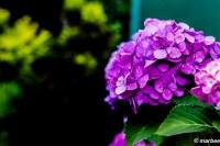 紫陽花 紫 本格的に満開です