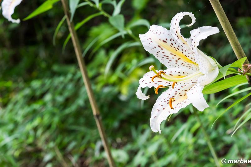 ヤマユリ 夏の花。2015年も酷暑ですね