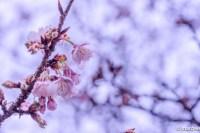 寒桜 儚く咲き誇る
