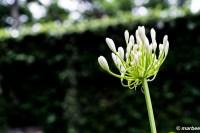 写真 アガパンサス もうすぐ咲きます