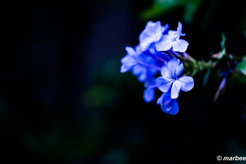 写真 青い花 珍しくは無いのだろうが・・・図鑑に載っていない