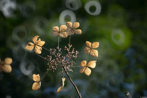 まだ頑張っている額紫陽花