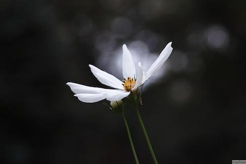 白いコスモス(ブラック背景バージョン)