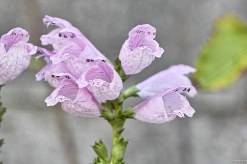 ピンク色の植物