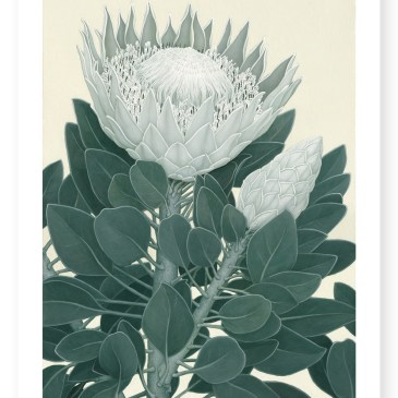 King Protea II – Archival Paper Print