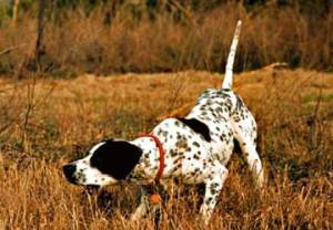 cane-da-caccia