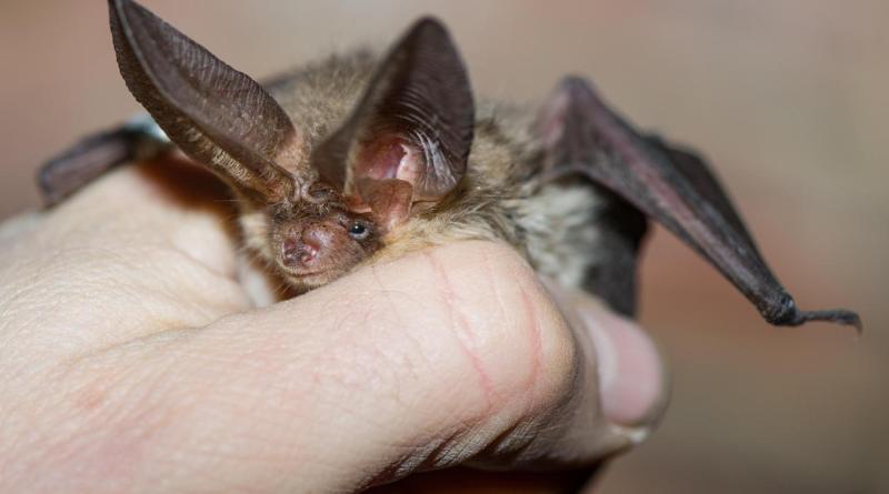 Marchiodoc - Pipistrello