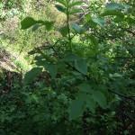 Mexican elderberry