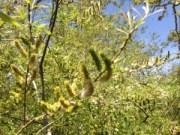 arroyo willow