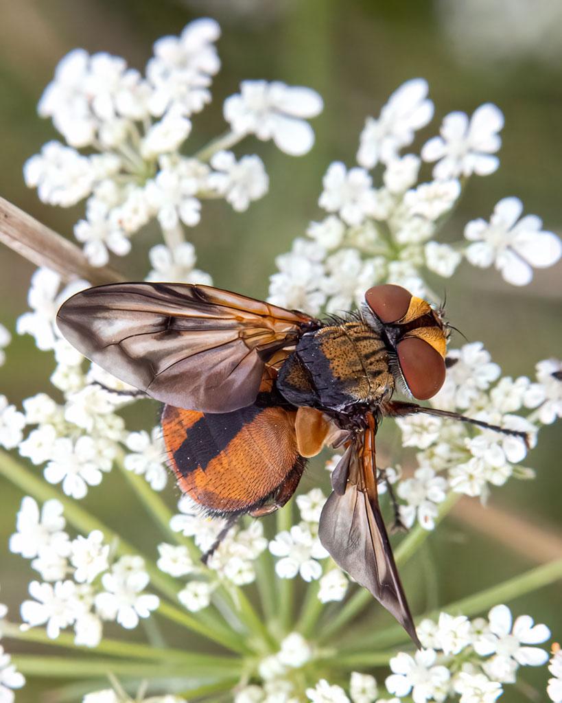 Paśnica tarczówkowa (Ectophasia crassipennis)