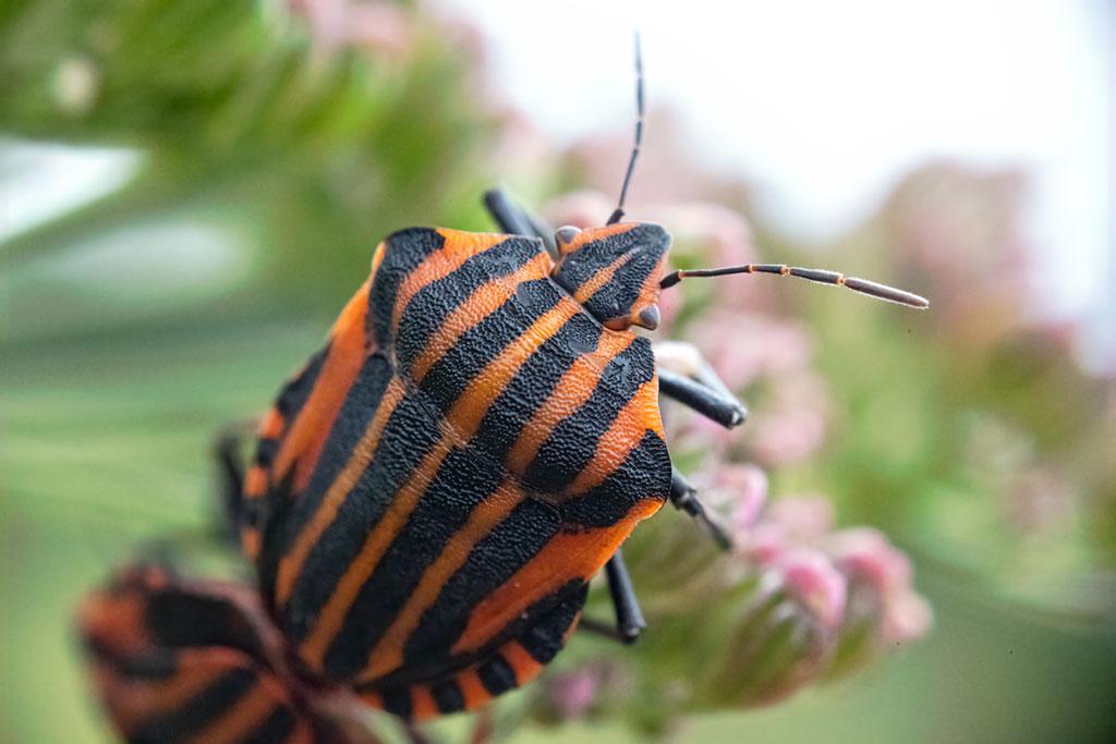 Strojnica włoska (Graphosoma italicum)