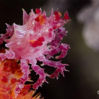 Hoplophrys oatesi - Kobe