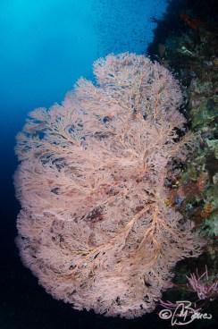 Melithaea sp. - Pasir Gorango