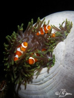 Amphiprion ocellaris - Indonesia, Raja Ampat