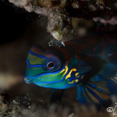 Synchiropus splendidus - DLL House Reef