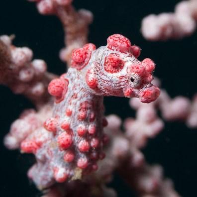 Hippocampus bargibanti - Magic Rock