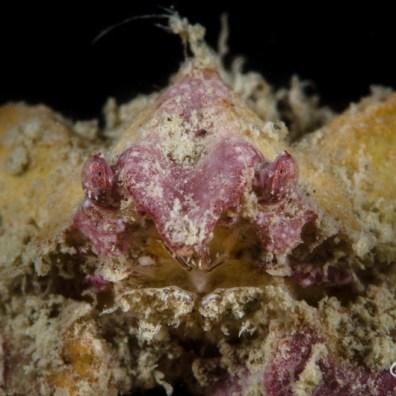 Derilambrus angulifrons - Granchio compasso