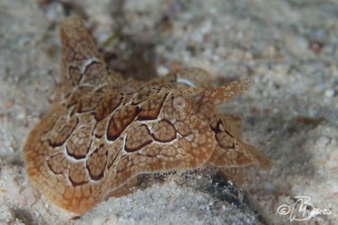 Pleurobranchus forskalii - Exotic house reef
