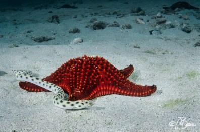 between sand and rocks - Myrichthys tigrinus Pentaceraster cumingi