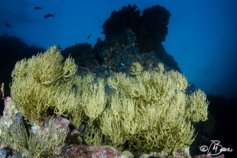 between sand and rocks - Antipathes galapagensis