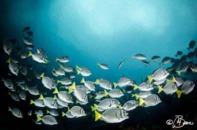 the reef - Prionurus laticlavius
