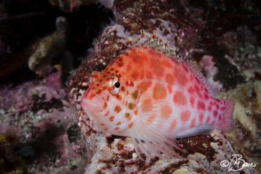 Cabo Marshall - Cirrhitichthys oxycephalus