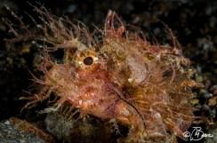 Pteroidichthys amboinensis - Bonets corner
