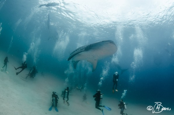 the whale shark show - Oslob