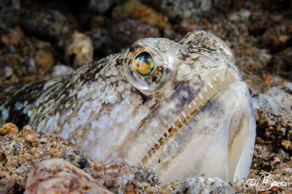Trachinocephalus myops - Bonets corner