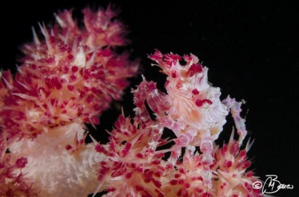 Hoplophrys oatesi - Masaplod sanctuary