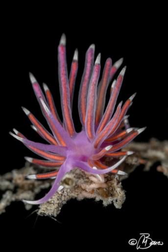 Flabellina pedata - Dentali del Trave