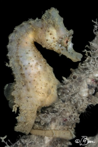 Hippocampus hippocampus - Nicole wreck