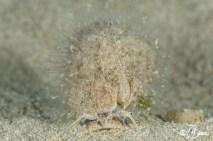 Nassarius nitidus - Trave