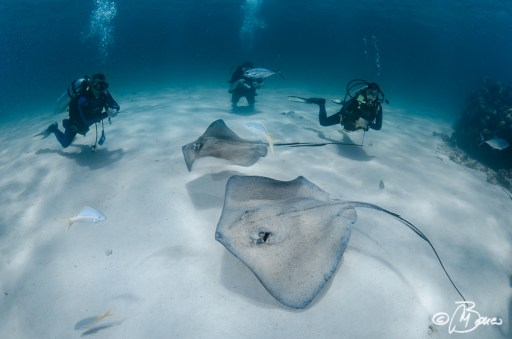 "Hypanus americanus - Grand Cayman ""Sting ray city"""