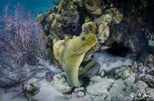 "Gymnothorax funebris - Grand Cayman ""Sting ray city"""