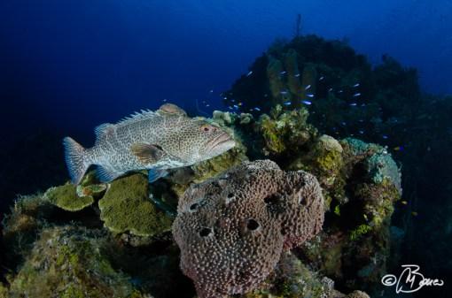 "Mycteroperca tigris - Little Cayman ""Three Fathom Wall"""