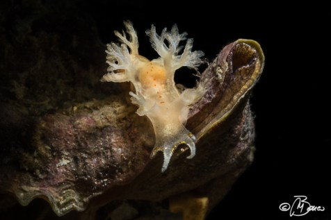 "Tritoniopsis cincta - ""Due sorelle"""