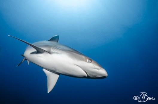 """Fathers Reefs - """"Carcharhinus albimarginatus"""""""