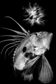 FISH BW