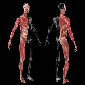 Apparato muscolare e scheletrico
