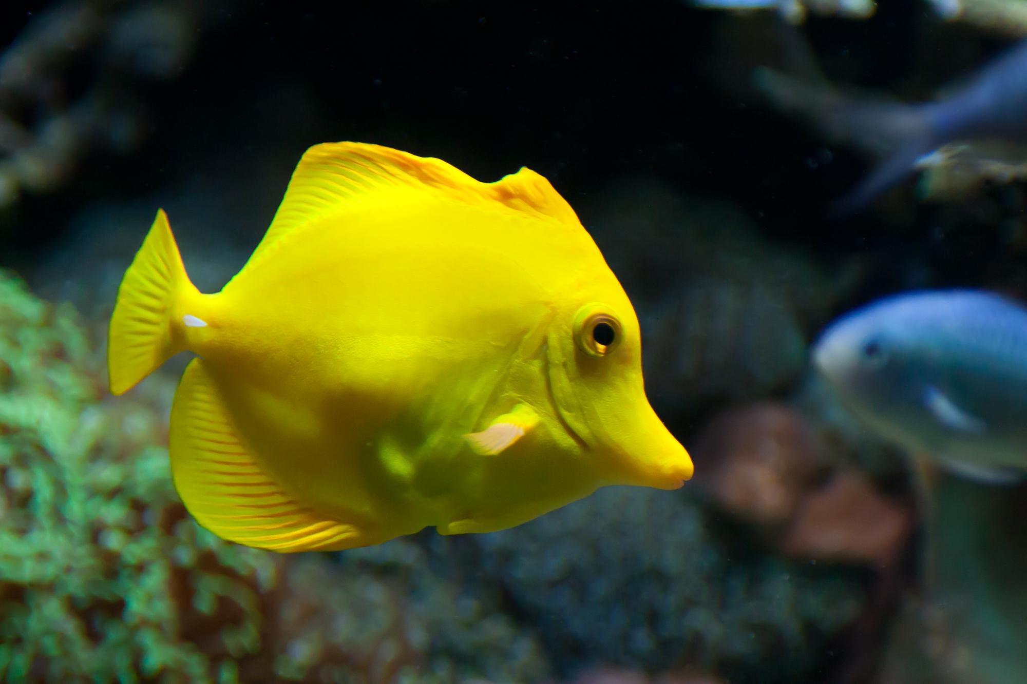 Gelber Segelflossendoktor