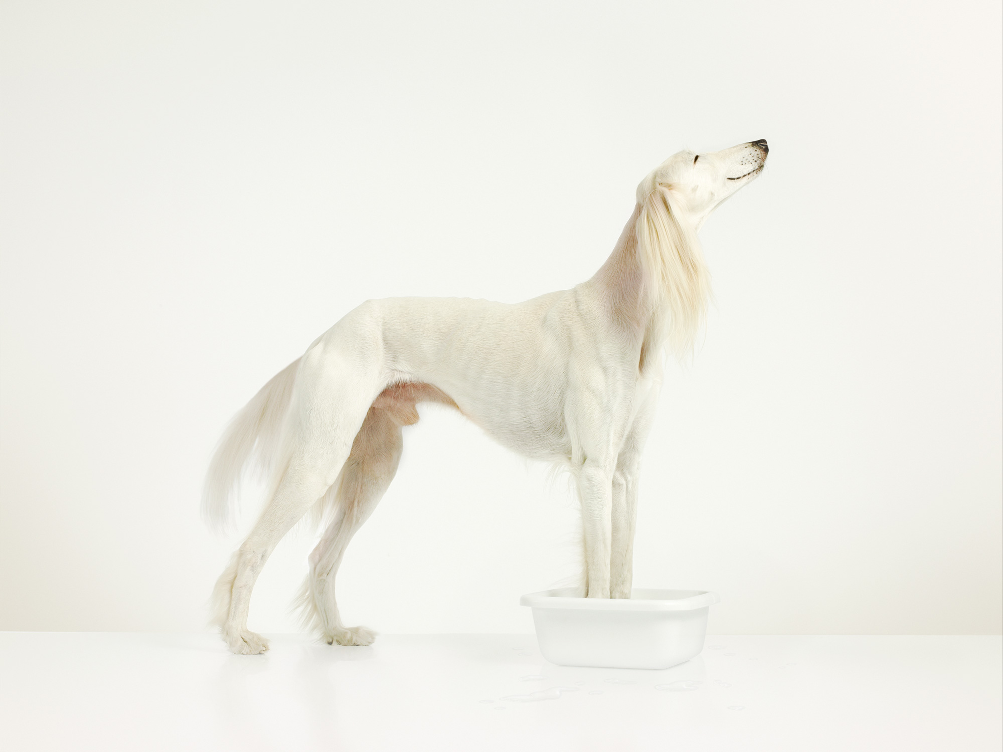white; dog; saluki; studio; amsterdam; the netherlands, hond, afgaan